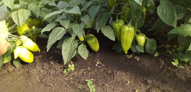 Что сажать рядом с томатами, чтоб от вредителей помогло, и польза была, 8 культур соседей
