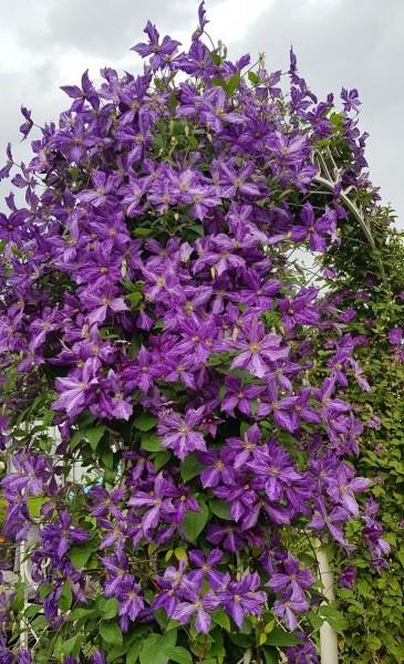 Чтобы клематисы превратились в мощные лианы нужно сделать всего три шага весной