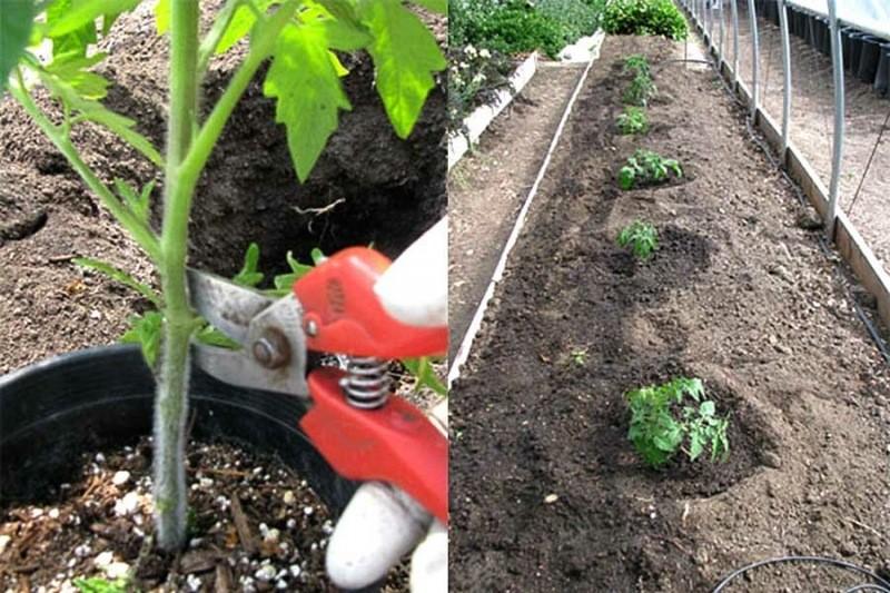 Фантастический результат от такой посадки томатов — 10 секретов от фермера и небывалый урожай вам обеспечен