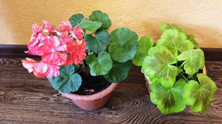Готовлю пеларгонии к летнему цветению: что делаю в первую очередь