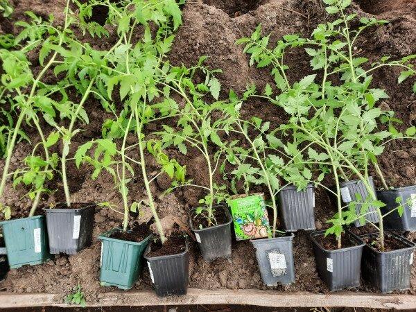 Как мы высаживаем рассаду томатов в теплицу. Есть нюансы, позволяющие дать растениям хороший старт