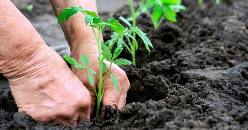 Когда правильно высаживать рассаду в мае, чтобы не остаться без урожая. Делюсь опытом определения сроков посадок