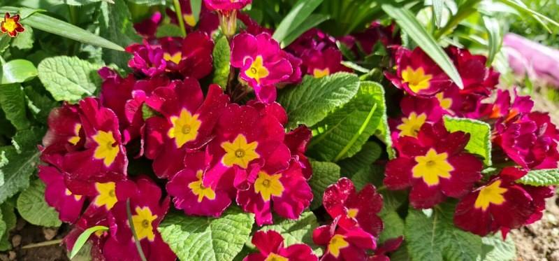Мои многолетники цветут пышно и долго. Вношу всего одну подкормку за весь сезон