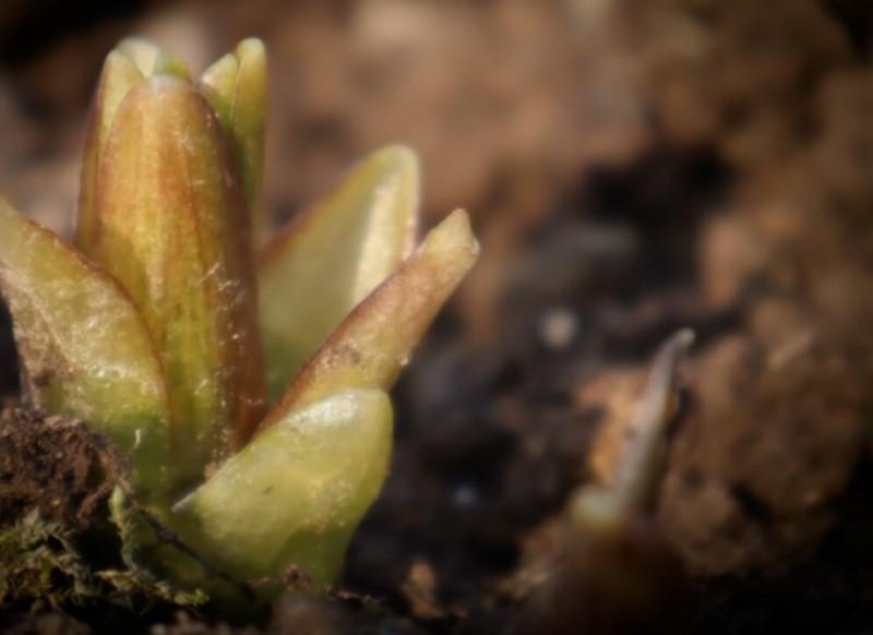 Подкормите этим лилии в Апреле - Мае и цветение будет божественным (рецепт).