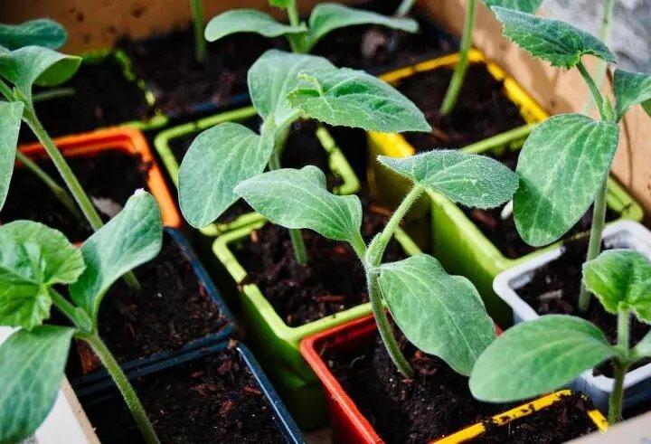 Посадка кабачков в открытый грунт семенами и рассадой: сроки, рекомендации по посеву и уходу