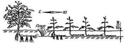Томаты перерастают, высаживать нельзя – погода холодная. На самом деле это не страшно и хорошо для Урожая. Способ, моей мамы