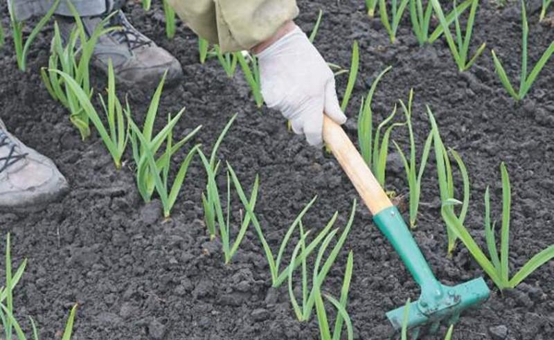 Уход за озимым чесноком в мае: три самых важных дела для завязывания крупных луковиц