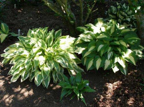 3 главных ошибки при уходе за хостами в саду