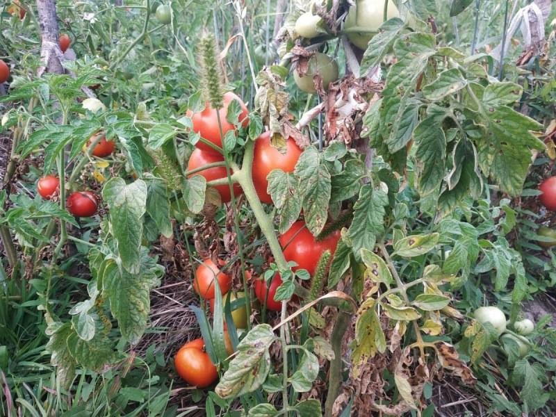 Что посадить после томатов в следующем сезоне. Готовим план заранее, как сани летом.