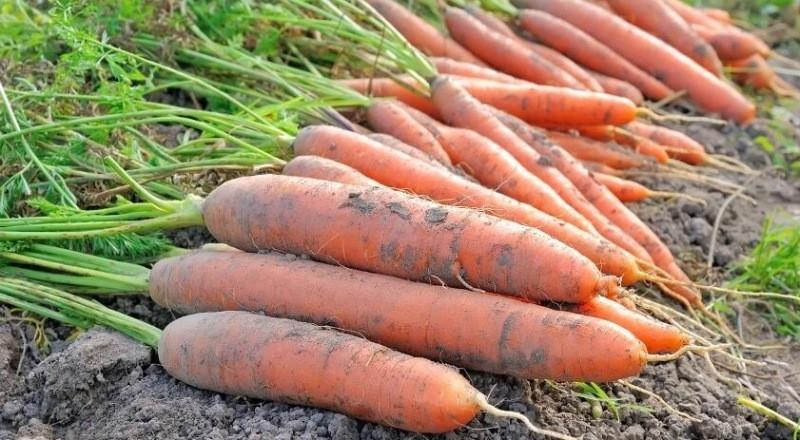 Что сделать сейчас чтоб морковь была крупной и сочной