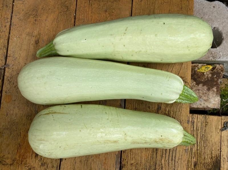 Кабачки аж до заморозков: что сделать сейчас, чтобы продлить плодоношение кабачков?