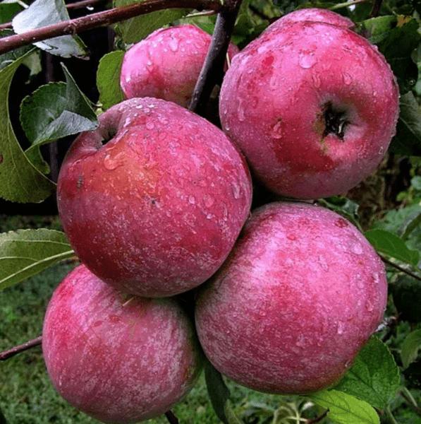 Малоизвестный сорт яблок. Выдерживает большие морозы, вес – 400 грамм. Хранится до мая и очень вкусный. Рекомендую к посадке