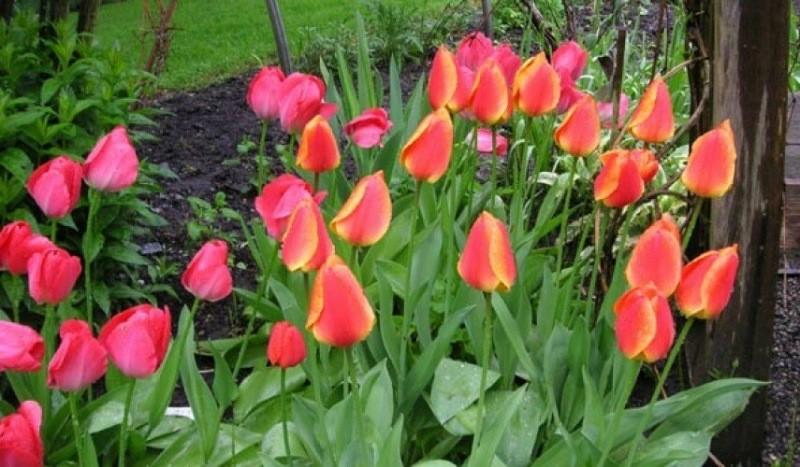Ошибки при выращивании тюльпанов