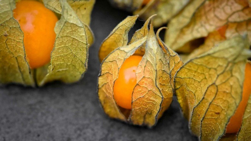 Овощной физалис: размножение, уход, урожайность и другие секреты