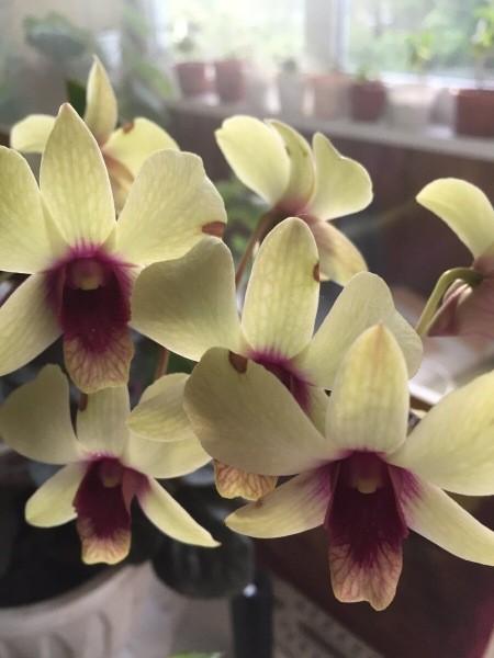 Странный фаленопсис (говорим о цветении)