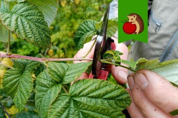 Что делать с малиной в сентябре: 5 процедур, которые приведут к повышению урожайности в следующем году