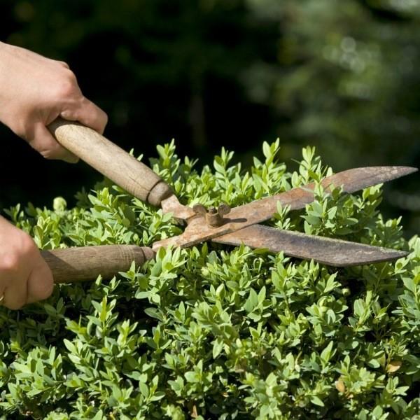 Главные ошибки при обрезке декоративных кустарников