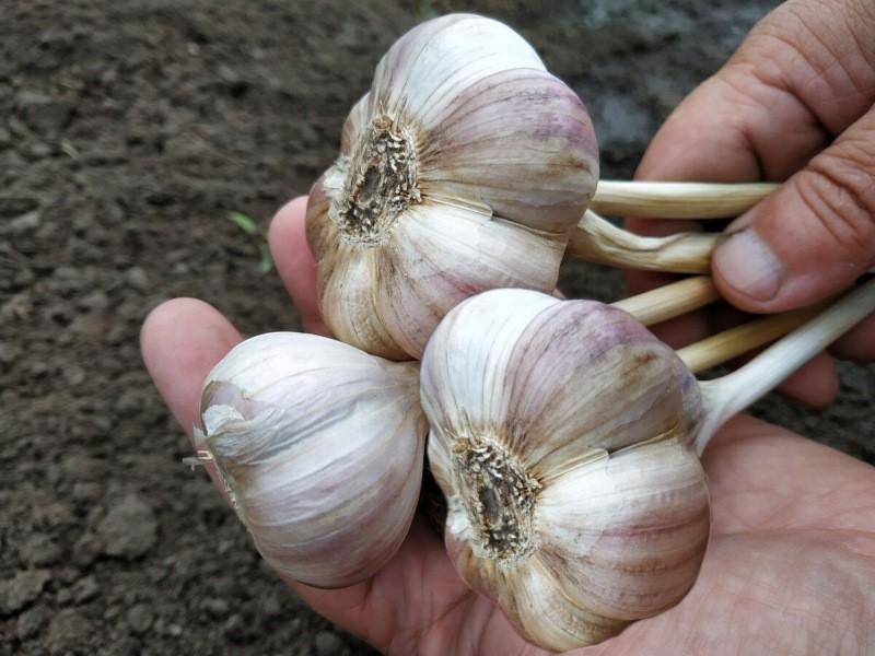 Готовлю грядку для чеснока заранее, чтобы получить хороший урожай крупных и здоровых головок.