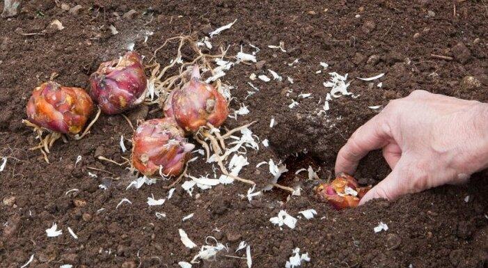 Как на самом деле сажать лилии осенью правильно
