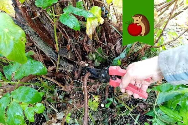 Как правильно обрезать черную смородину, чтобы в следующем году урожай был еще богаче: 5 важных шагов
