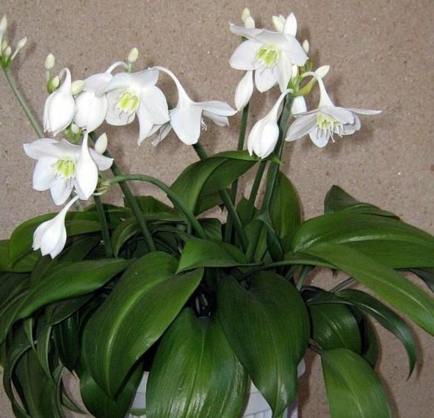 Комнатные растения: амазонская лилия