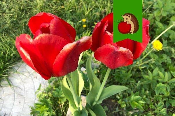 Куда не стоит сажать луковицы тюльпанов: 6 признаков губительной клумбы, где те будут мельчать, болеть и отказываться цвести