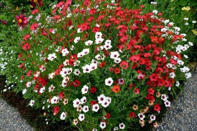 Многолетний лен: великолепный цветок для солнечного участка