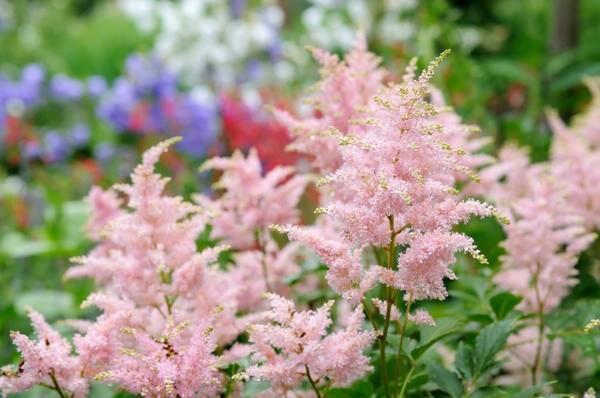 Мои любимые астильбы: пушистые метелки в саду