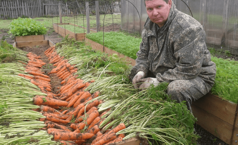 Морковь приятно удивит своим вкусом и урожайностью. Подкормите его 1 раз моим удобрением и все.