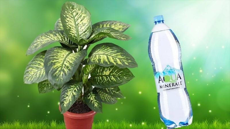 Можно ли поливать комнатные цветы минеральной водой?
