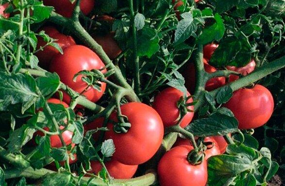 Не пускаем фитофтору на грядку: как уберечь помидоры