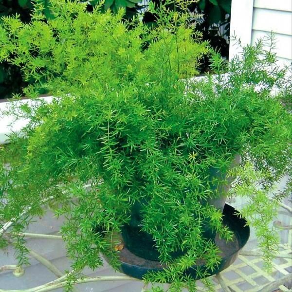 Очень уютное комнатное растение