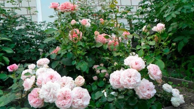 Основные проблемы, с которыми мы сталкиваемся при выращивании роз