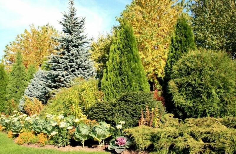 Правила обрезки хвойных деревьев