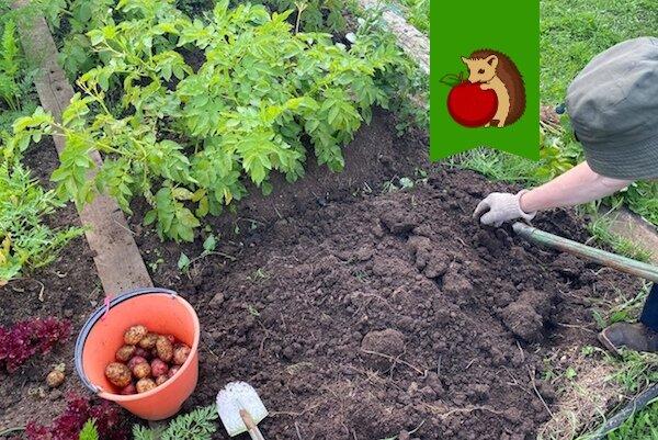 """Предстоящие выходные для меня - лучшее время убирать картофель. Почему я запланировала """"картофельфест"""" именно на эти дни?"""