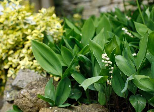 Растения-агрессоры в цветниках: часть 1