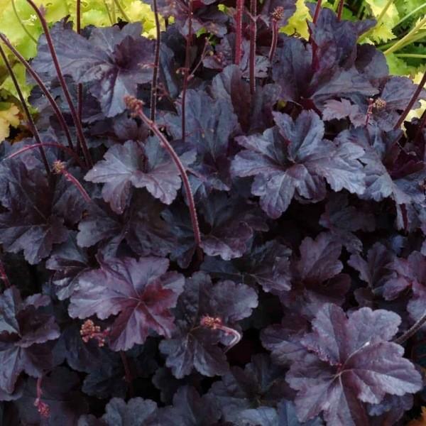 Растения с темными листьями, придающие цветникам глубину