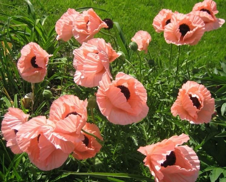 """""""Самосевки"""" - отличный вариант для цветников в деревенском стиле"""