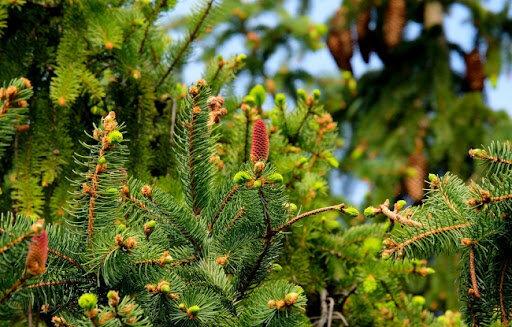 Самые распространенные ошибки при выращицании саженцев хвойных растений