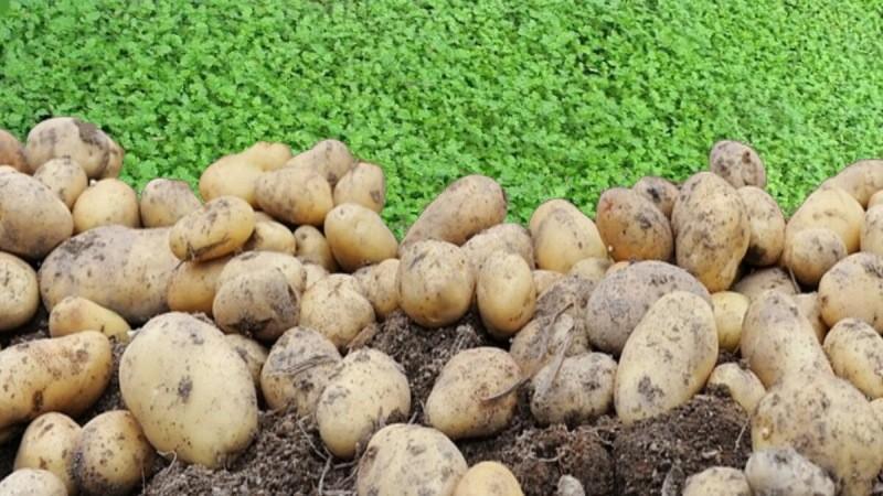 Сеем сидераты после картофеля. Как сделать правильный выбор для восстановления почвы на участке.