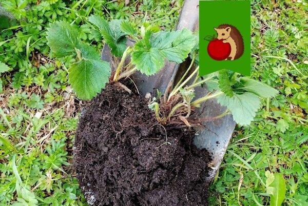 Сентябрь - время рассаживать клубнику. Как правильно разделить кусты, чтобы урожай был богатым уже в следующем году