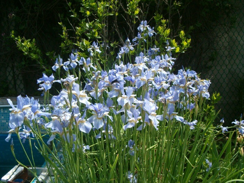 Сибирские ирисы в вашем саду: изящество, красота и стиль