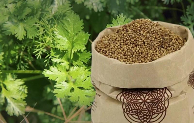 Собираем семена кориандра. Как все сделать правильно для кухни и посева.