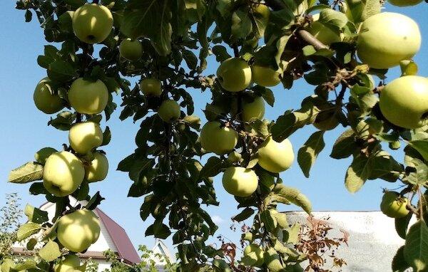 Собрала урожай яблок: все в пятнах. Что случилось с яблоней и что с этим делать?