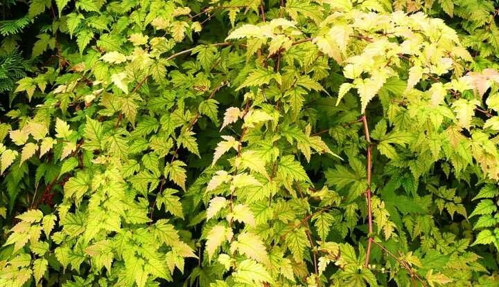 Стефанандра - декоративный цвеущий кустарник, который сделает ваш сад необычным