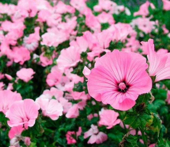 Три цветка, семена которых я обязательно сажаю осенью