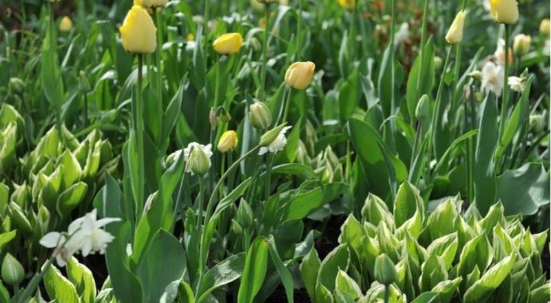 Три лучших соседа для луковичных растений