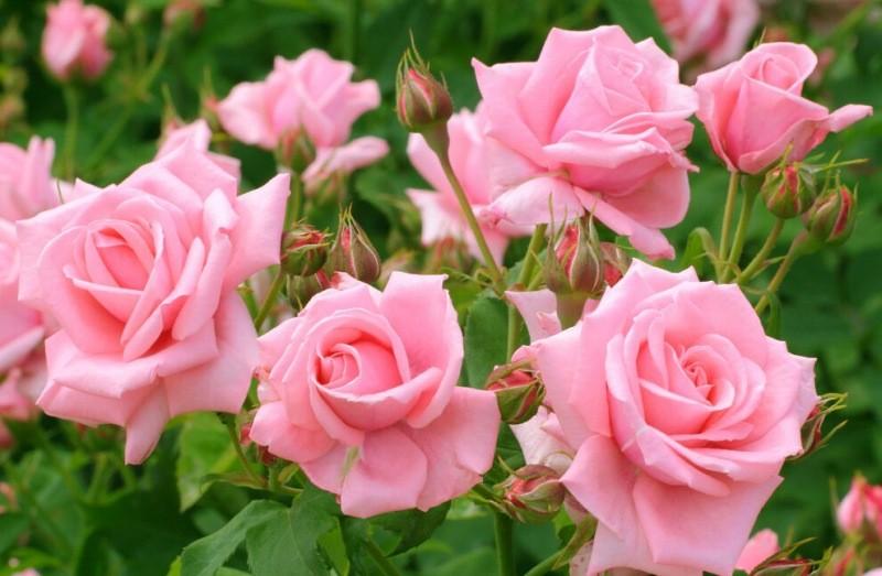 Три распространенные ошибки при пересадке розы