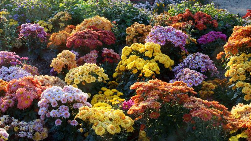 Тысяча сортов красоты, имя ей хризантема