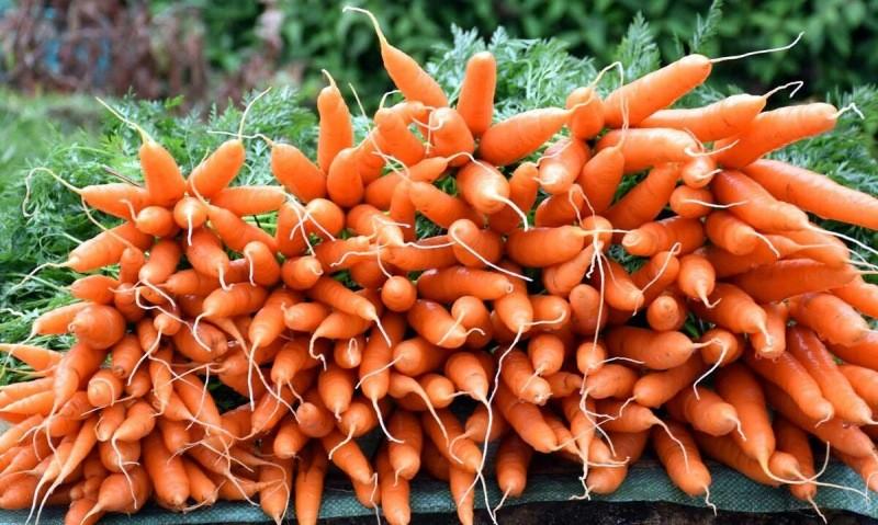Время уборки и способы хранения моркови